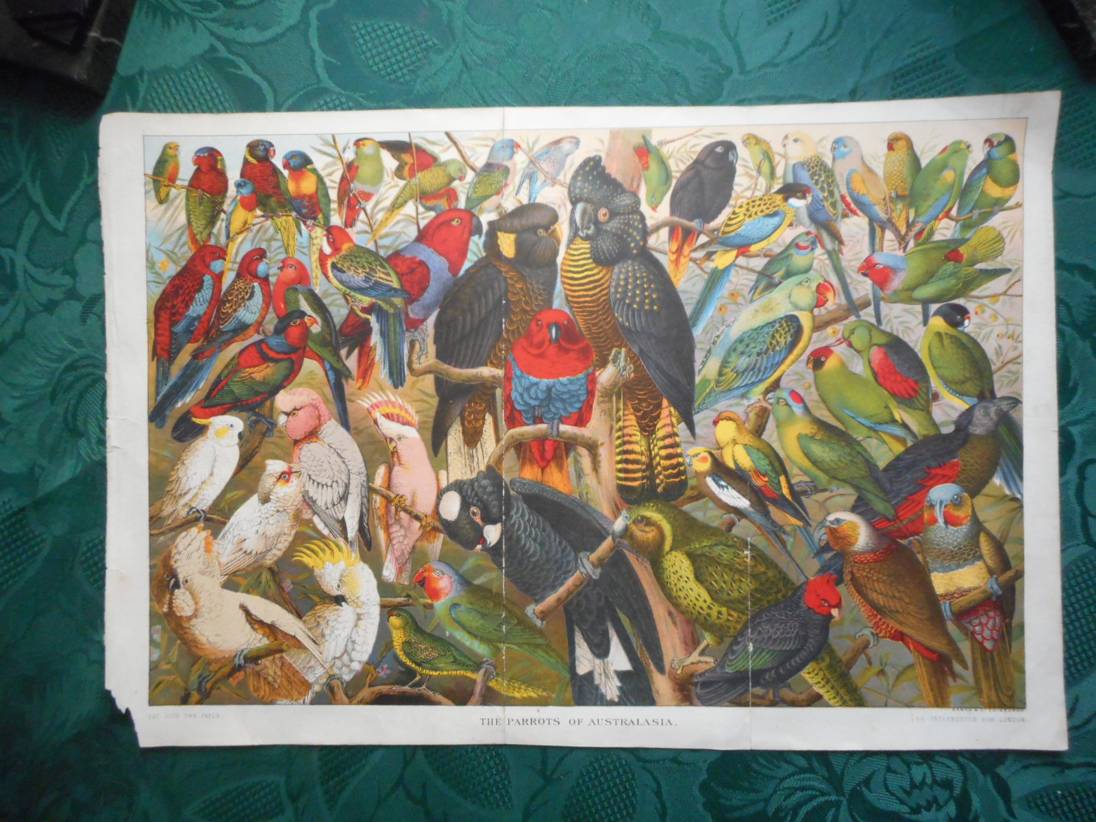 Image for The Parrots of Australasia - Large Chromolithographic ORIGINAL Print from ' the Boys Own Paper' Circa 1885.